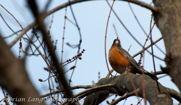 A Robin taking note of all surroundings, always ready to sound the alarm