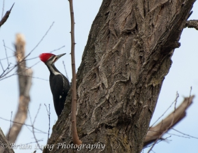 My first Pileated image capture!!