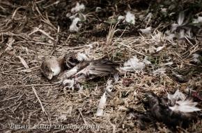 The work of a harrier hawk I am assuming
