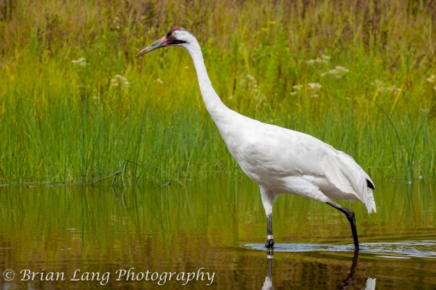 I had the chance to visit the international Crane Foundation in Baraboo, WI and was able to get a few shots of their display Whoopers