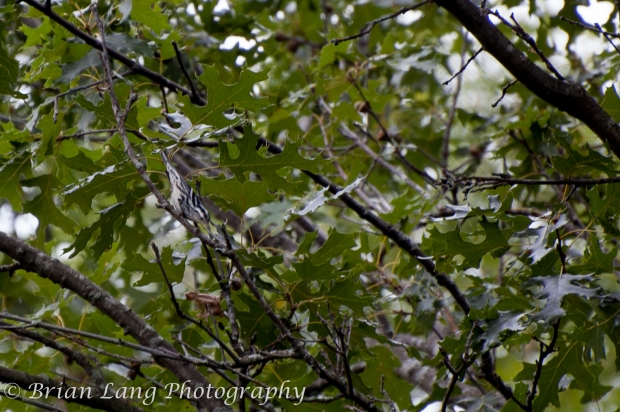 This was my first spotting of a Black and White Warbler, and what a cool bird it was!!