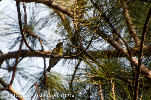 This is a Yellow-throated Vireo that my friend Russel and I saw in WI. This was an exciting first for both of us. We had been hearing it for a few days and were able to finally spot and photograph him!