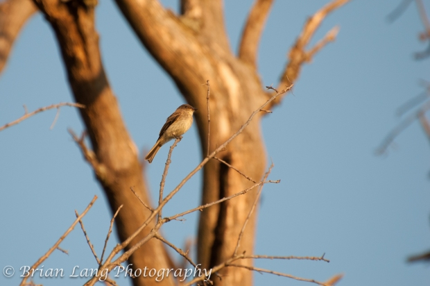 Blue-grey Gnatcatcher at sunset